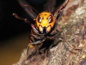 獰猛なスズメバチ