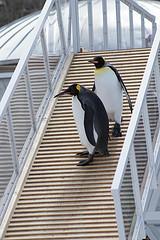 ペンギン階段をよっこらしょ