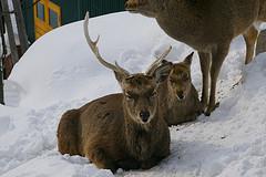 旭山動物園エゾシカ