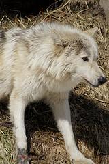 旭山動物園 オオカミ