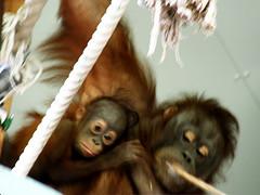 旭山動物園 オランウータンの親子