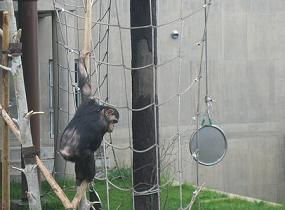 楽しそうに遊ぶチンパンジー