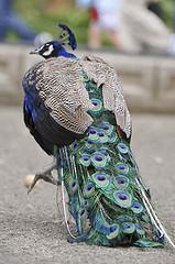 きれいな孔雀