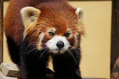 かわいいレッサーパンダ