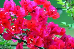 沖縄の花 ブーゲンビレア